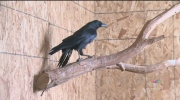 Josh Crabb reports on a crow that learned to talk