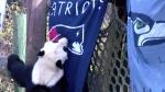 The animal kingdom tries to predict the Super Bowl