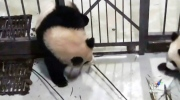 CTV Vancouver: Giant panda breaks iron bars