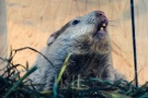 Wiarton Willie looks skyward in order to give us his prognostication on Monday morning, Feb. 2, 2015. Willie did not see his shadow, which according to groundhog folklore means we can expect an early spring. THE CANADIAN PRESS/Frank Gunn