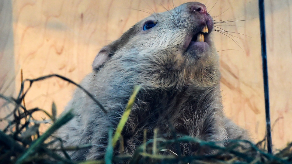 Wiarton Willie looks skyward in order to give us his prognostication on Monday morning, Feb. 2, 2015. (Frank Gunn / THE CANADIAN PRESS)