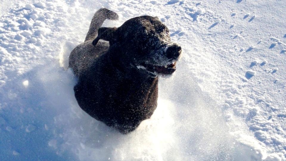 Dexter the black lab plays in the snow in Saint John, N.B., Tuesday, Feb. 3, 2015. (Ashley Justason / MyNews)