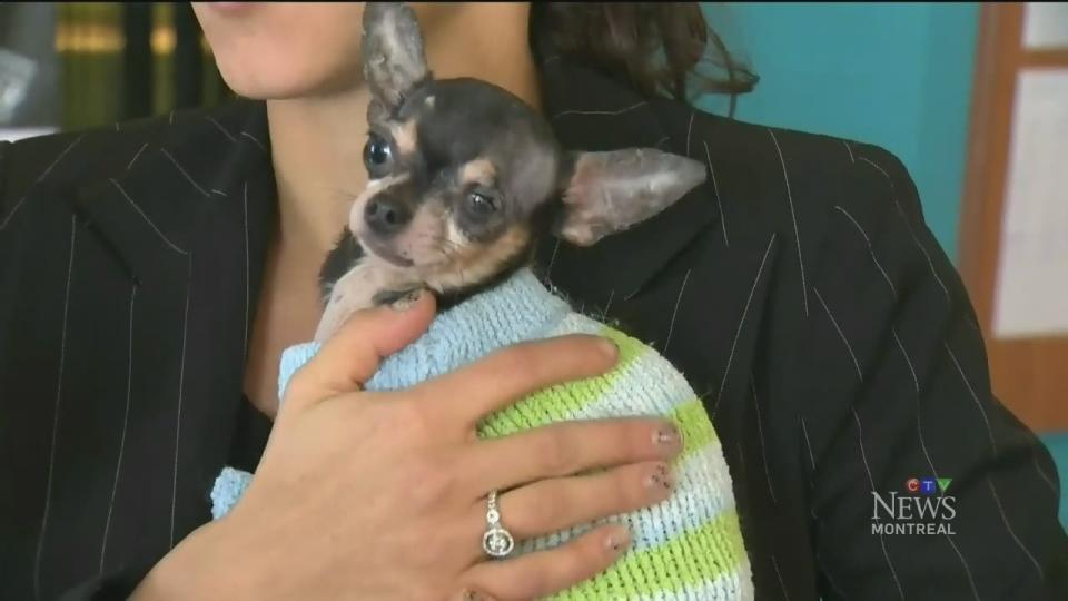 CTV Montreal: SPCA seizure of abused animals