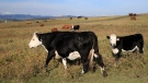 Beef cattle in pasture near Longview, Alberta on Sept. 17, 2014. (THE CANADIAN PRESS / Larry MacDougal)