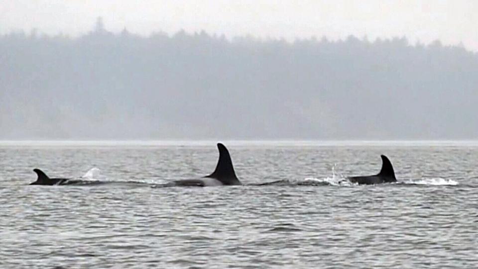 Newborn orca