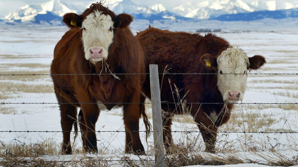 Cattle pause as they graze winter pasture in the foothills of the Canadian Rockies near Longview, Alberta, Thursday, Jan. 8, 2004. (Jeff McIntosh / THE CANADIAN PRESS)