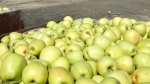 Bins of freshly picked golden delicious apples Tuesday Sept. 11, 2012. The B.C. company behind non-browning apples has been bought by an American corporation in a $41-million deal. (AP / Tri-City Herald, Bob Brawdy)