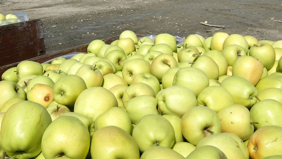 A worker at a Franklin County orchard moves bins of freshly picked golden delicious apples Tuesday Sept. 11, 2012 into place for a semi-truck to pick them up for delivery. (AP / Tri-City Herald, Bob Brawdy)