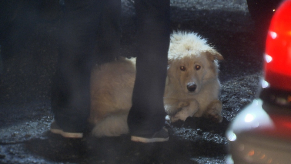A seven-month old golden retriever helped alert search crews to the whereabouts of its missing owner on the North Shore Friday, Feb. 13, 2015. (CTV)