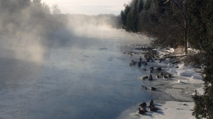 Geese look on as mist rises from the Speed River in Guelph on Monday, Feb. 16, 2015. (Jeff Turner / CTV Kitchener)