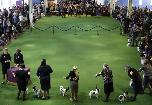 Papillons compete at the Westminster Kennel Club show in New York on Monday, Feb. 16, 2015. (AP Photo / Seth Wenig)