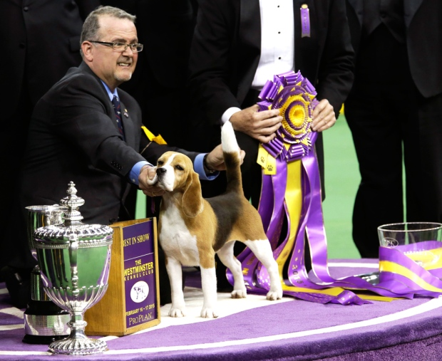 Canadian Beagle Wins Best In Show At Westminster