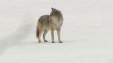 Coyote parasite spreading