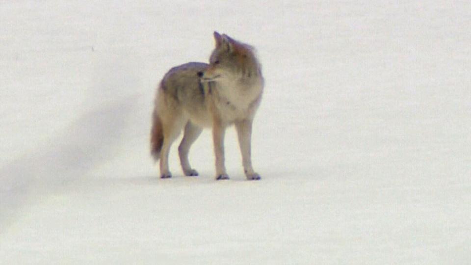 A coyote wanders through a Calgary park on Tuesday, Feb. 17, 2015.