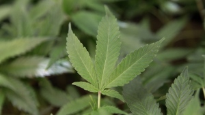 Medical marijuana clone plants at a medical marijuana dispensary in Oakland, Calif. on  Feb. 1, 2011. (AP / Jeff Chiu)