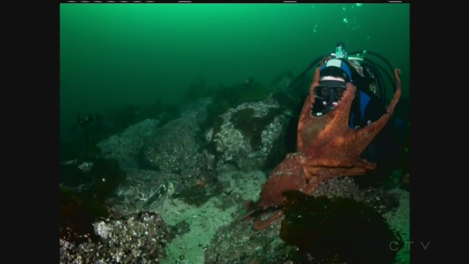 Diver Natasha Dickinson was exploring the waters off Port Hardy, B.C. when she encountered a giant Pacific octopus.