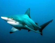 A blacktip shark, Carcharhinus limbatus, in the Indian Ocean off Aliwal Shoal, South Africa in March, 2008. (AP / Institute for Ocean Conservation Science/Matthew D. Potenski)