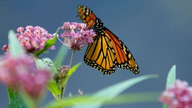 Monarch butterfly eats nectar from swamp milkweed
