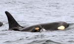 In this Wednesday, Feb. 25, 2015 photo provided by the National Oceanic and Atmospheric Administration, (NOAA) a new baby orca swims alongside an adult whale, believed to be its mother, about 15 miles off the coast of Westport, Wash. (AP / National Oceanic and Atmospheric Administration / Candice Emmons)