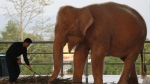 A Myanmar zoo keeper feeds a white elephant with grass at a zoo in Naypyitaw, Myanmar, Jan. 4, 2012. (AP / Apichart Weerawong)