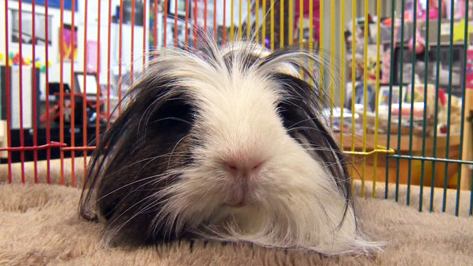 Oreo, a therapy guinea pig, brings a lot of comfort and calm to a Calgary classroom.
