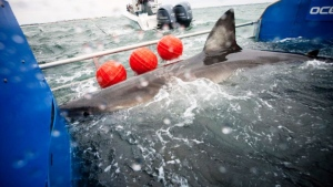 Great White Shark Lydia is tagged off the coast of Florida on March 2, 2013. (Ocearch.org)