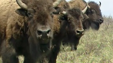 Federal funding, bison, Banff, Banff Bison, Plains
