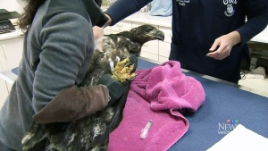 The Orphaned Wildlife Rehabilitation Society in Delta, B.C., said Nanoose died on Wednesday.