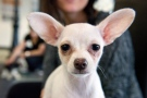 A chihuahua takes a break at the Purina PawsWay indoor dog park in Toronto, Wednesday, March 4, 2015. (Galit Rodan/The Canadian Press)