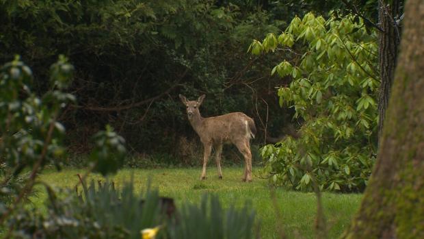 New fatal disease confirmed in B.C. deer