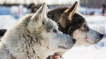 Dogs in musher Rob Cooke's team wait for food at the Manley Hot Springs, Alaska, checkpoint during the Iditarod Trail Sled Dog Race on Tuesday, March 10, 2015. (Alaska Dispatch News / Loren Holmes)