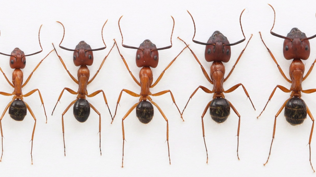 A sample of the range of ant sizes