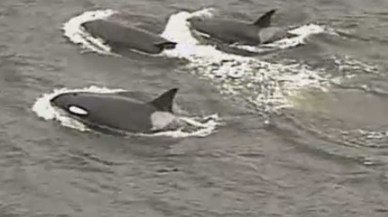 A pod of orcas swims through Burrard Inlet, marking the third sighting in four years. March 12, 2015. (CTV/Chopper 9)