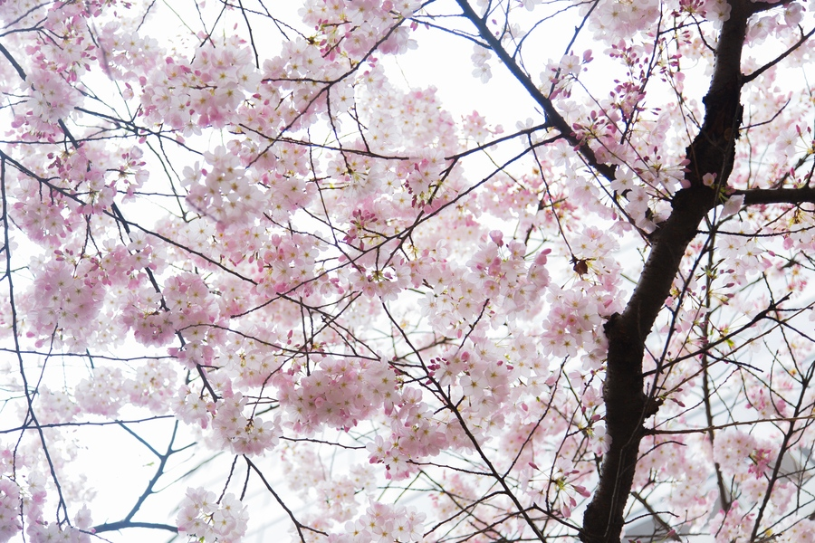 signs of spring vancouver erupts with early cherry. Black Bedroom Furniture Sets. Home Design Ideas