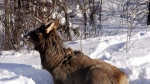 A large bull elk sits in the snow by the side of the Alaska Highway near Whitehorse, Yukon, Sunday March 4, 2007. (Chuck Stoody / THE CANADIAN PRESS)