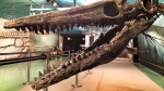 CTV file image of Suzy the mosasaur.