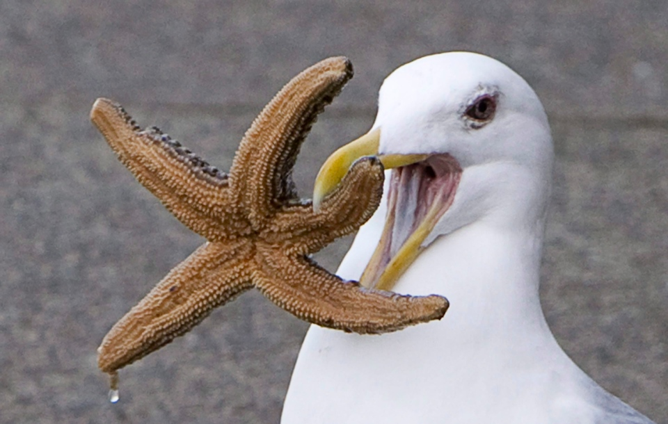 A seagull attempts to eat a starfish on the docks at Granville Island in Vancouver, Wednesday, March 23, 2011. (Jonathan Hayward / THE CANADIAN PRESS)