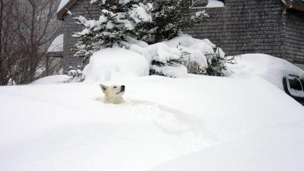 Freddie the dog peers out from the snow in Halifax, Wednesday, March 18, 2015. (Jennifer Bayer / MyNews)