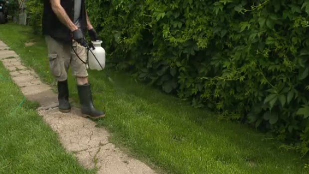 New this year, the province has banned lawn care companies from using chemical pesticides. Instead, companies will now rely on a weed-killer called Fiesta, an eco-friendly alternative.