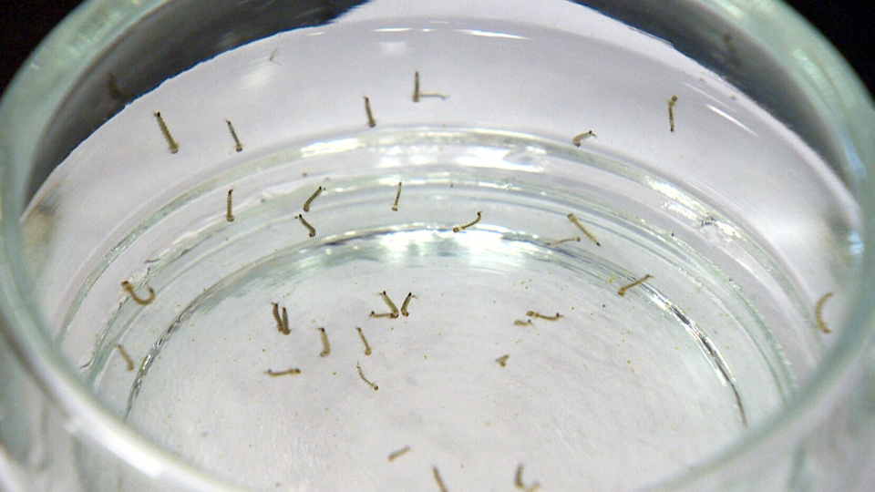 A University of Manitoba researcher is hatching a plan to control mosquito populations by chemically sterilizing a batch of males and releasing them into the wild.