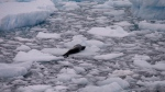 A leopard seal rests on a piece of floating ice near the Chilean station Bernardo O'Higgins, Antarctica on Jan. 22, 2015. (AP / Natacha Pisarenko)