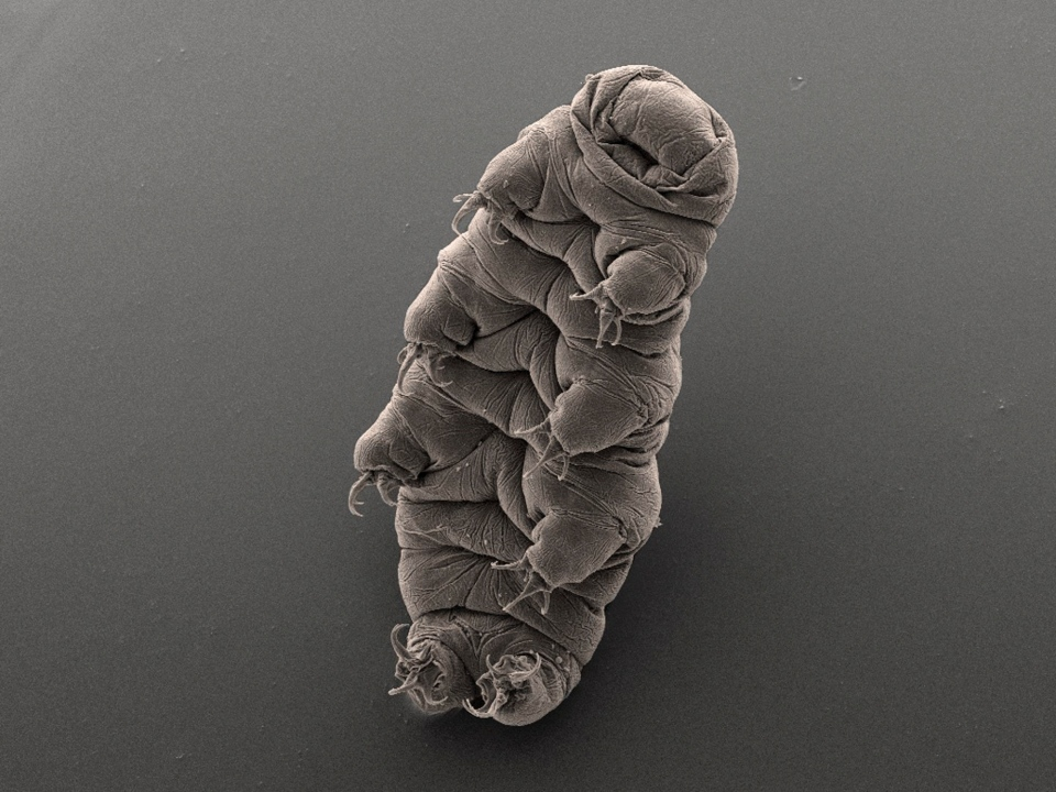 This image released by Bob Goldstein and Vicki Madden taken with an electron microscope, shows a tardigrade, micro-animal also known as a water bear, at the UNC in Chapel Hill, N.C. In Jan. 2015, scientists found the DNA of a tardigrade in Antarctica's Lake Vostok, located in an area considered the most remote place on Earth. (UNC Chapel Hill)