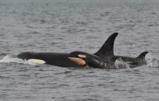 j pod orcas