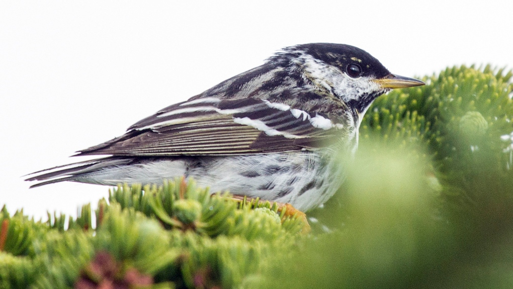 Guelph researcher helps track 'incredible' 20,000-kilometre songbird migration