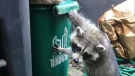 Making a racoon proof green bin