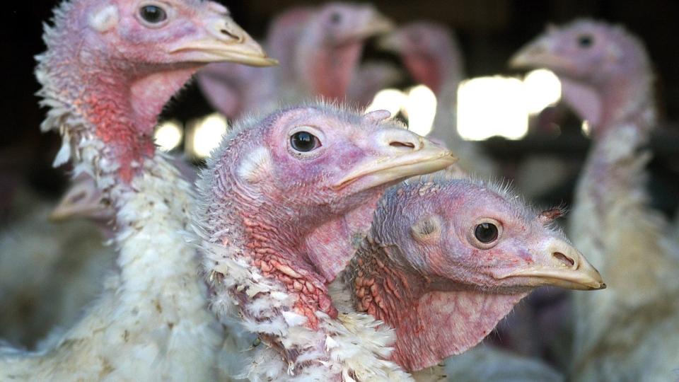 Turkeys are pictured at a turkey farm near Sauk Centre, Minn., Nov. 2, 2005. (AP / Janet Hostetter)