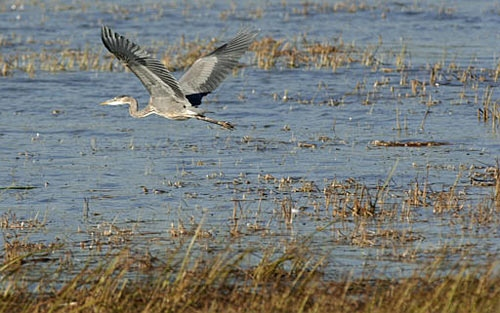 A bird flies over wetland in Clay Township, Mich., Oct. 12, 2003(AP Photo, Paul Sancya)