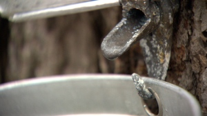 A harsh winter followed by a cool spring is impacting maple syrup production this year.