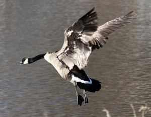 A Canada Goose taking flight over the Mississippi River at Carleton Place, Ont. (Judith Gustafsson/CTV Viewer)