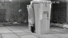 Raccoon resistant green bin
